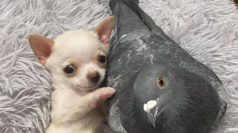 Unlikely friendship between pigeon and puppy. (The Mia Foundation)