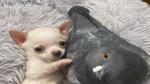 Pigeon, pup