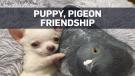 Pigeon, puppy