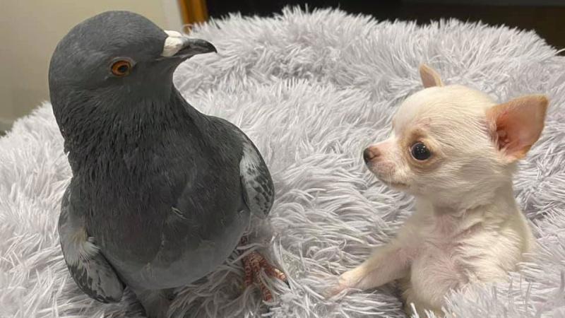 pigeon pup