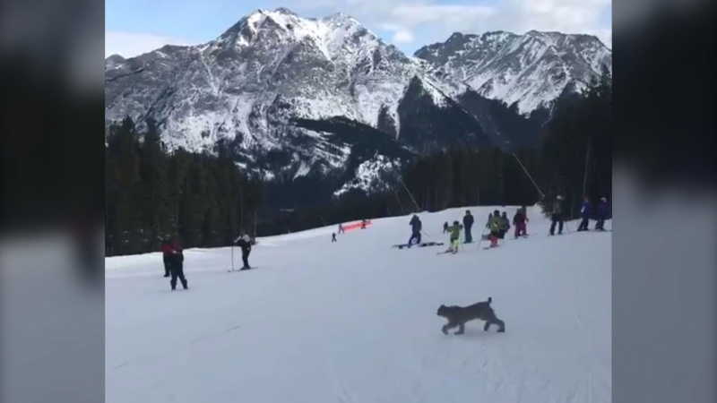 A still image from video posted to Twitter by Kelly Doody shows a lynx at the Nakiska Ski Area.