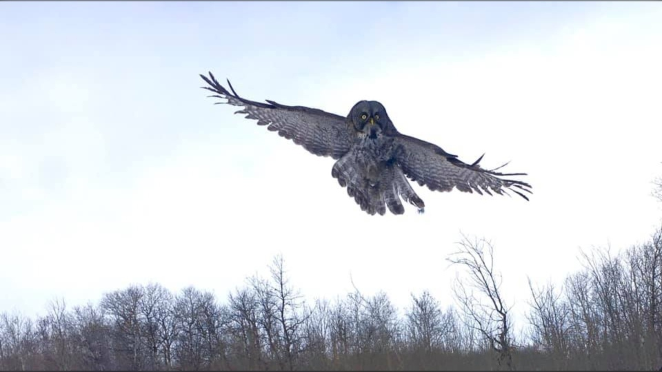The great gray owl was released on Louis Riel Day. (Source: Wildlife Haven Rehabilitation Centre/Facebook)