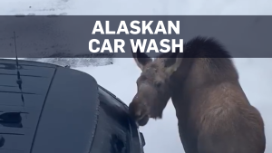 Moose gives free 'car wash' to police vehicle in A