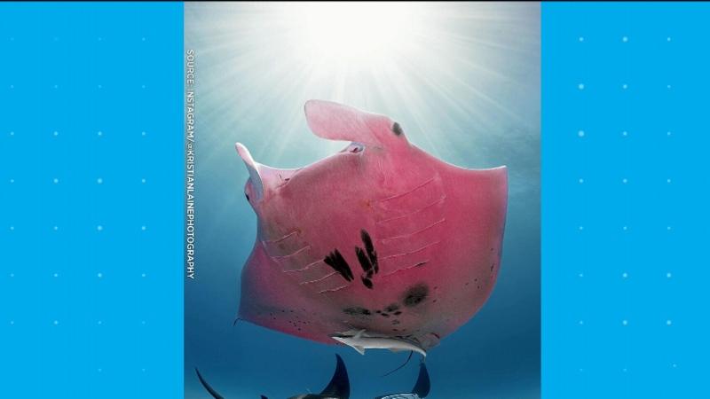 Pink manta ray