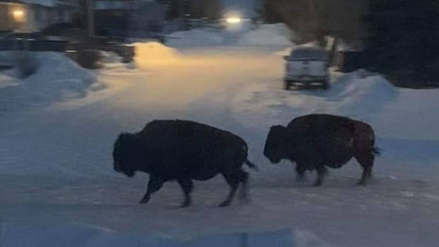 Bison run wild in small Alberta town after escaping from trailer