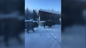 Some bison wandered into the yard of Kelly-Ann Burgess near Hythe, Alta. after escaping from a trailer. Feb. 18, 2020. (Courtesy Kelly-Ann Burgess)