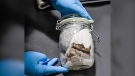 A human brain specimen seized by the U.S. Border and Custom Patrol is seen in this image (U.S. Customs and Border Patrol)