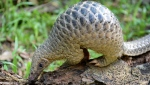 The pangolin is the world's most heavily trafficked mammal.