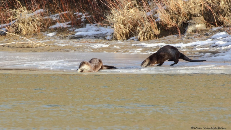 River otters in the South Saskatchewan River in Medicine Hat (image: Dan Schiebelbein Nature Photography)