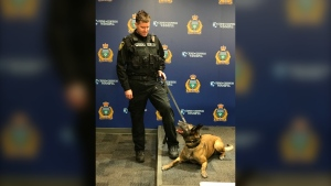 A Winnipeg police dog. (Source: Jon Hendricks/CTV News Winnipeg)