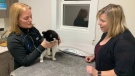 Dr. Juanita Ashton, left, cares for Patches while the cat's owner, Heather Helpard, watches on Wednesday, Feb. 19, 2020. (Carl Pomeroy / CTV News Atlantic)