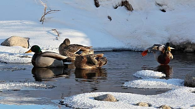 Cold duck yoga. Photo by Allan Robertson.