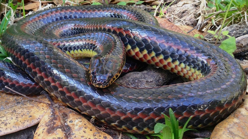 A hiker in Florida found and took pictures of a rare rainbow snake, a species that experts say hasn't been seen in the area for more than 50 years.