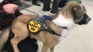A dog at a We All Need a Rescue adoption event at Cowtown. (Chad Leroux/CTV News)
