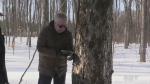 Maple syrup season begins