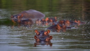 Hippos stay submerged in a lake at the Napoles Park in Puerto Triunfo, Colombia, Wednesday, Feb. 12, 2020. The hippos, that were originally brought to Colombia by the late Colombian drug baron Pablo Escobar as part of his personal zoo, have been taking over the countryside near his former ranch endangering native animals while also leaving farmers and fisherman fearing for their safety. (AP Photo/Ivan Valencia)