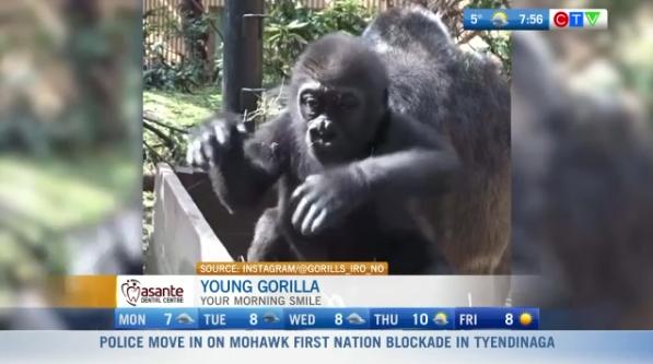 Cute gorilla video