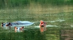 Colombia scrambles to deal with hippo invasion