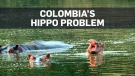 Hippos left by drug lord become invasive issue for
