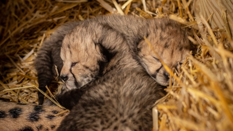 This undated photo provided by the Columbus Zoo and Aquarium shows two cheetah cubs. (Columbus Zoo and Aquarium via AP)