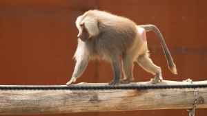 A baboon at the Sydney Zoo is seen in this photo. (Mark Kolbe/Getty Images/CNN)