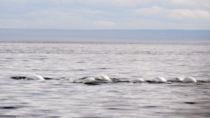 Beluga whales swim in front of Tadoussac Que. Aug. 15, 2014. THE CANADIAN PRESS/Jacques Boissinot