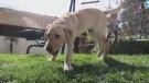 Calif. family clones hero dog