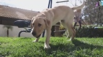 Calif. family clones hero dog