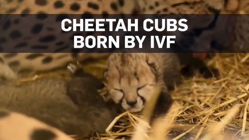 Two cheetah cubs born for the first time by IVF