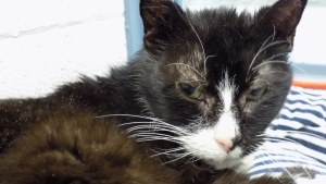One of 17 cats surrendered to the Stratford Humane Society. One dog was also surrendered. (Source: SPHS)