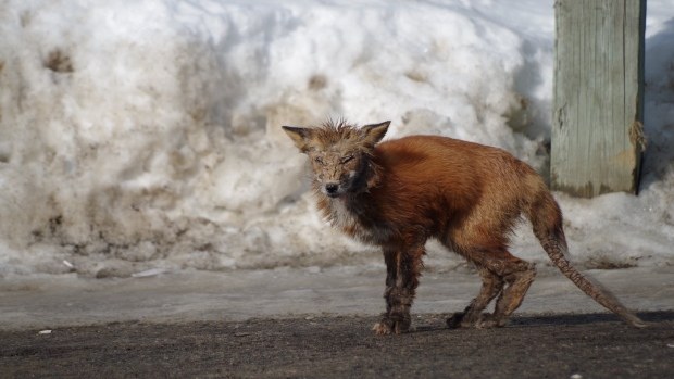 Diseased fox sightings has Timmins residents concerned
