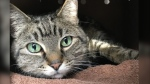 Jenny, a tabby cat, was found in an abandoned Vancouver home. (SPCA photo)