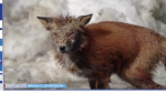 A sickly fox has been spotted in Timmins.