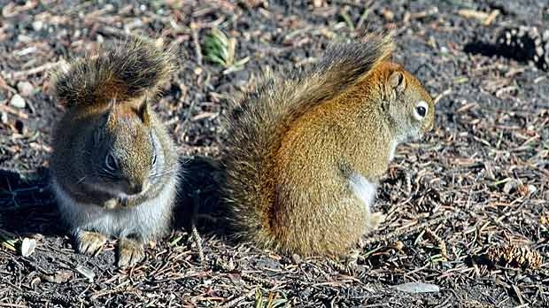 Two squirrels not chasing one another but just sitting calmly enjoying each others company. Photo by Neil Longmuir.