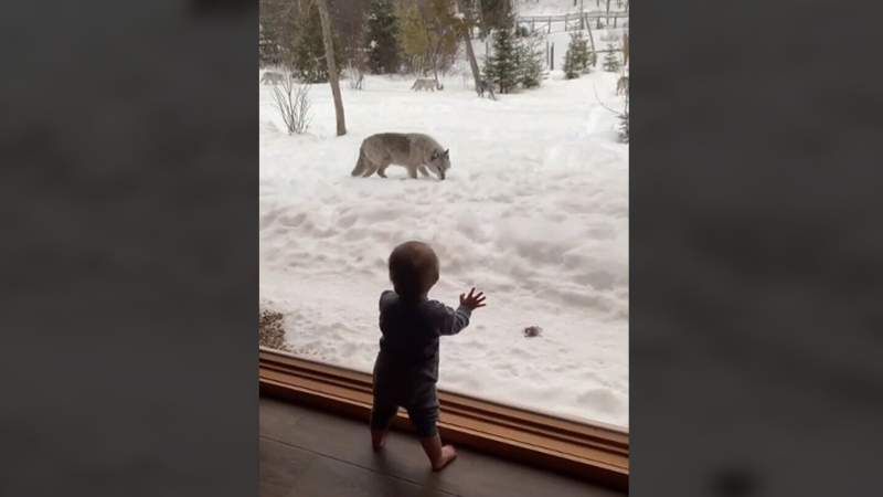 Little boy watches wolf pack from Que. cabin
