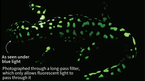 Biofluorescence is where organisms emit a glow after first absorbing light energy - and before the current study had only been observed in one salamander and three frog species. (AFP)
