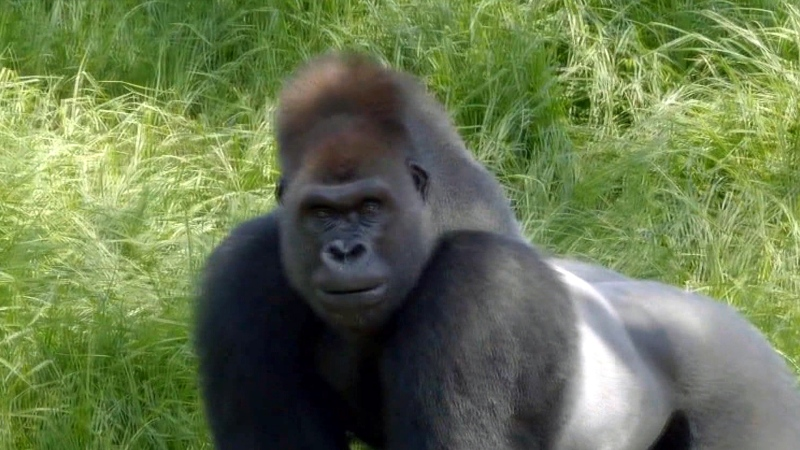 Australian gorillas are fans of Buble's music