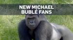Here's Michael Buble serenading three gorillas in