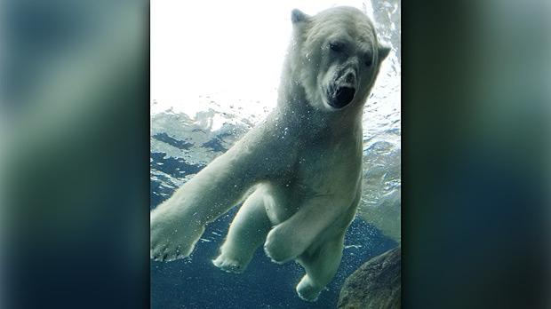 Polar bear at the Assinaboine Park Zoo. Photo by Chris Oppeneer.