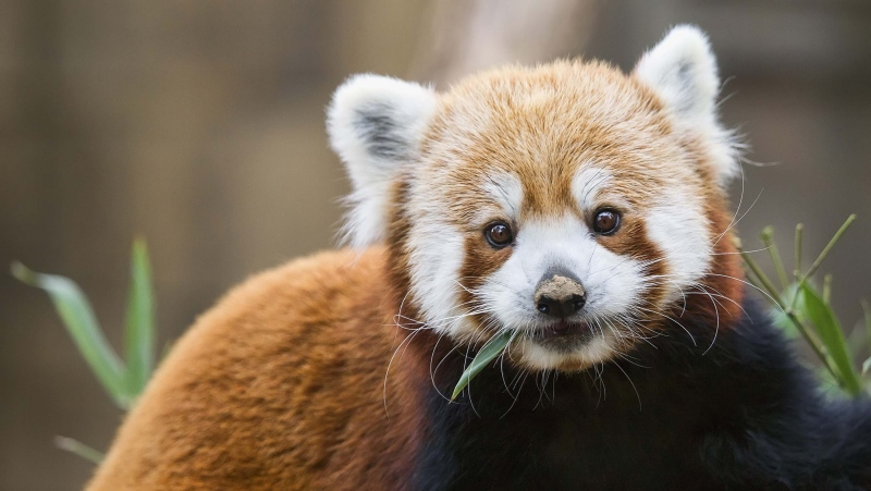 There are two distinct species of red panda, scientists have found. (Bill Kennedy/Shutterstock)