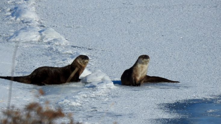 Dianna Runge spotted these otters in the Qu'Appelle Valley near Indian Head.