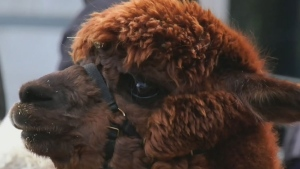 Alpacas at Instagram stars at Pointe-a-Calliere