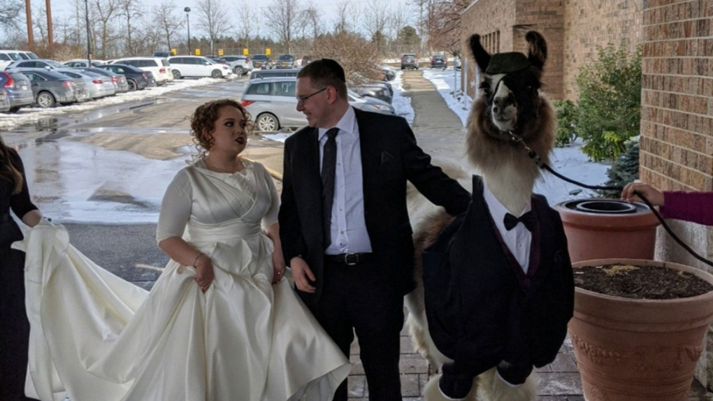 Brother Brings Llama To Sister's Wedding. She Wasn't Pleased