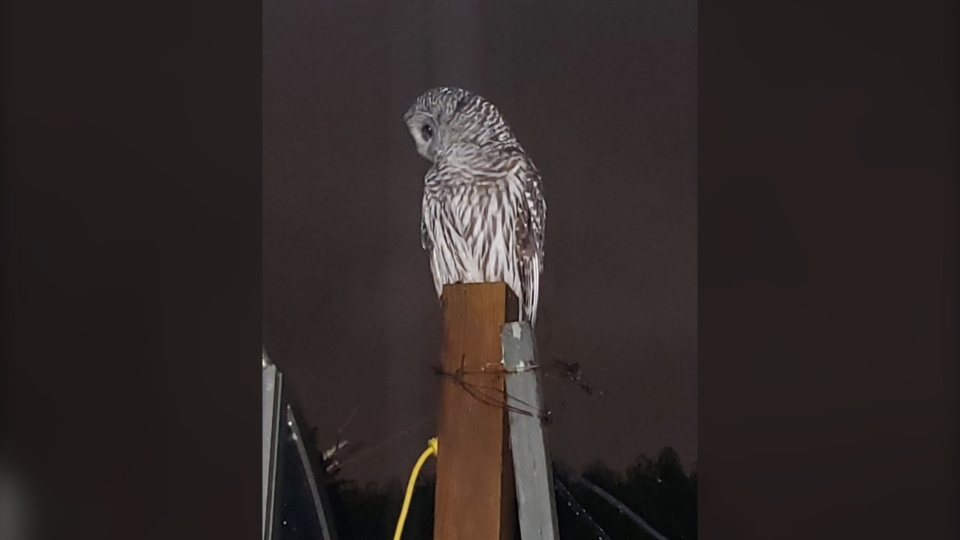 An image of the owl that visited Brian Whittaker's home near the area where William Polk was struck by an owl: (Brian Whittaker)