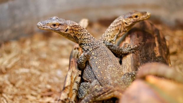 Komodo dragon with no male partner gives birth to three hatchlings