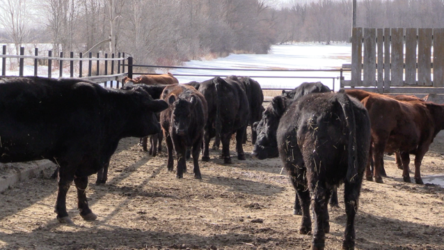Beef cows are seen in a paddock near Paisley, Ont. on Monday, March 16, 2020. (Scott Miller / CTV London)