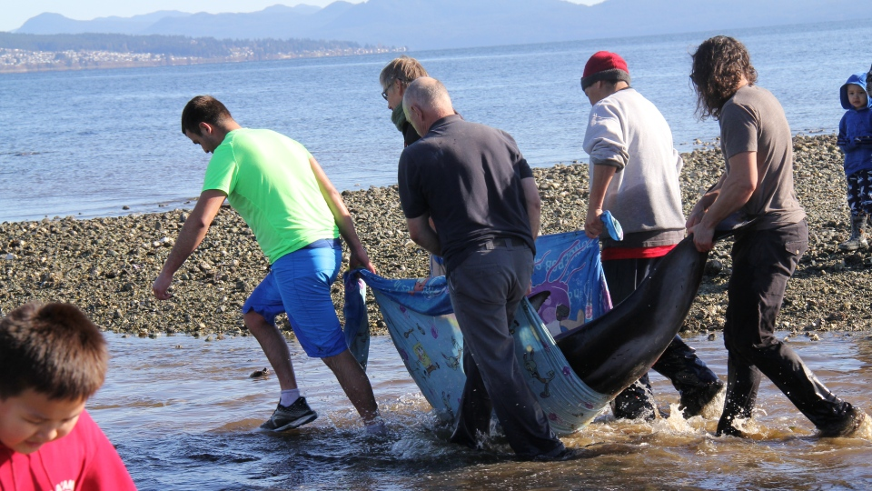 A large group of volunteers helped rescue 16 stranded dolphins that were stuck onshore while trying to escape predatory orcas: (All images courtesy of Susan MacKay)