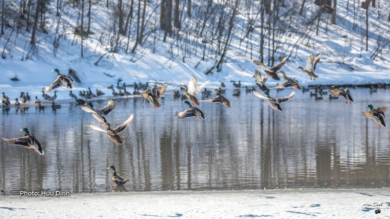 The winter wings on the Ottawa River. (Huu Dinh/CTV Viewer)