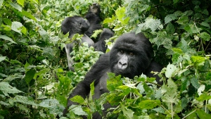 In this file photo taken Tuesday Nov. 25, 2008, two mountain gorillas are seen in the Virunga National Park in eastern Congs. (AP Photo/Jerome Delay-File)