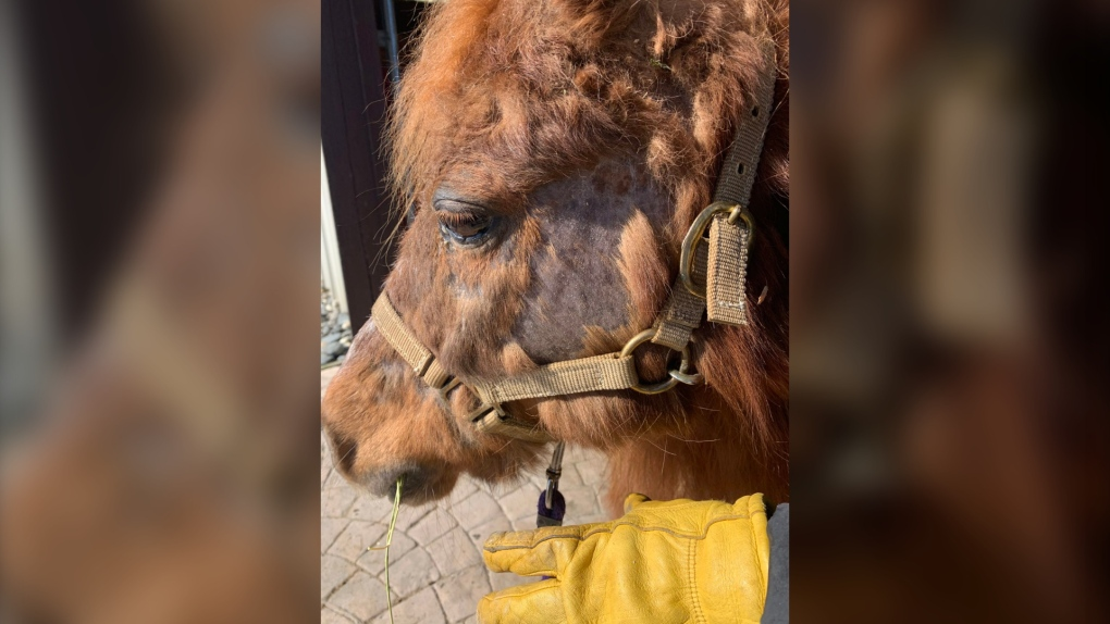 Seized miniature horse